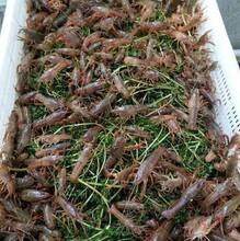 小龙虾苗养殖场现货供应图片