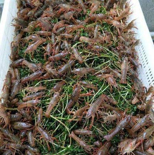 小龙虾苗图