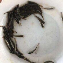 金昌雪鱼苗供应图片