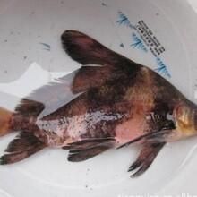 六盤水優質胭脂魚苗價格實惠現貨供應圖片