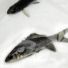 畢節優質巖原鯉魚苗養殖場現貨供應圖片