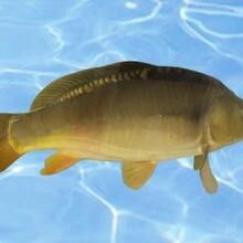 安順優質巖原鯉魚苗供應現貨供應圖片