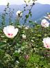 八月桂花遍地香,九月格桑开满山