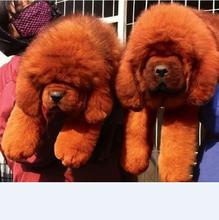 哪里有卖藏獒的,藏獒多少钱一只,藏獒纯种幼犬图片