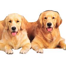 纯种金毛犬多少钱一只,金毛犬犬舍,哪里有卖金毛的图片