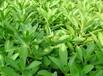 這種云農高鈣菜才幾塊錢一斤,補鈣養心助消化,一拌一蒸就能吃
