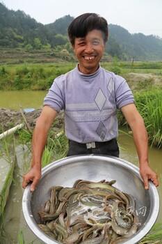 江西吉安农业ag系列产品 官方选泥鳅青蛙ag系列产品 官方ag系列产品 官方泥鳅提供ag系列产品 官方技术