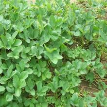 白雪天使草莓苗、脱毒高成活率适合大棚种植图片