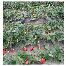去哪购买草莓王子草莓苗、内蒙古草莓苗基地图片