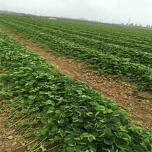 今年越心草莓苗价格、今年越心草莓苗价格图片