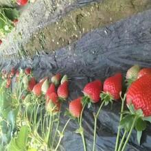 适合当地种植桃熏草莓苗价格、脱毒高产桃熏草莓苗图片