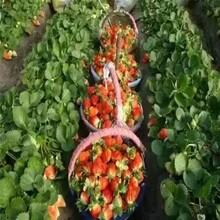 去哪购买雪里香草莓苗、浙江草莓苗基地图片