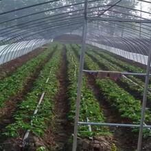 适合当地种植大白草莓苗批发、脱毒高产大白草莓苗图片