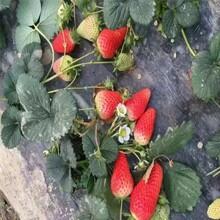 适合当地种植伊兰草莓苗哪里有、脱毒高产伊兰草莓苗图片