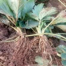 适合当地种植拉松草莓苗批发基地、高产拉松草莓苗图片