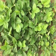 穴盘脱毒草莓苗、江苏基地草莓苗多少钱一颗图片