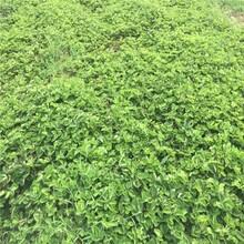 今年吉马草莓苗价格、今年吉马草莓苗直销图片