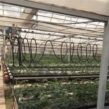 韩姬草莓苗、今年韩姬草莓苗报价图片
