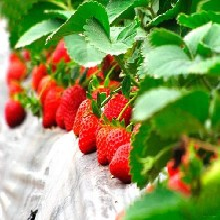 脱毒无病草莓苗、今年脱毒无病草莓苗基地图片