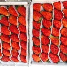 隋珠草莓苗、隋珠草莓苗哪里有图片