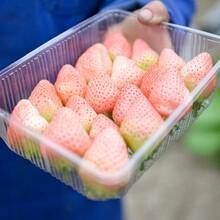 适合当地种植甜宝一号草莓苗直销、高产甜宝一号草莓苗图片