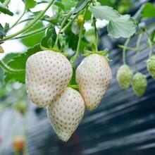 香格里拉草莓苗、香格里拉草莓苗供应图片