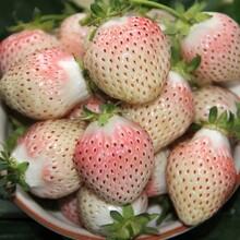 吉马草莓苗、天津基地草莓苗多少钱一颗图片