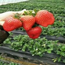 赛娃草莓苗、四川基地草莓苗多少钱一颗图片