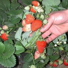 天线醉草莓苗、四川基地草莓苗多少钱一颗图片