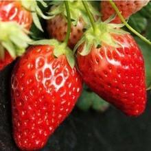 石莓一号草莓苗、今年石莓一号草莓苗批发图片