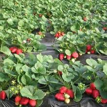 今年德国四季草莓苗价格、今年德国四季草莓苗哪里有图片