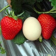 脱毒无病草莓苗、青海基地草莓苗多少钱一颗图片