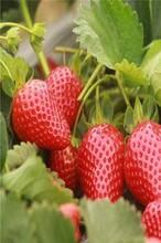 大棚高产草莓苗、脱毒高成活率适合大棚种植图片