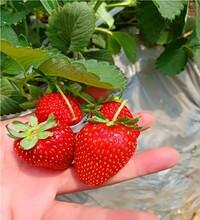 我想买山谷女王草莓苗、脱毒高成活率适合大棚种植图片