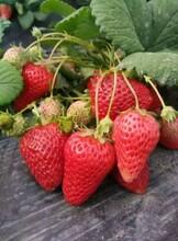 大棚草莓苗、内蒙古基地草莓苗多少钱一颗图片