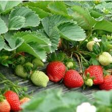 去哪购买大白草莓苗、青海草莓苗基地图片