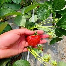 新品种草莓苗价格、新品种草莓苗供应图片
