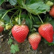 日本淡雪草莓苗、基地草莓苗多少钱一颗图片