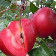 矮化苹果树苗和记娱乐注册里和记娱乐注册、矮化苹果树苗多少钱一棵图片