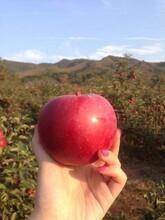 烟富9号苹果树苗和记娱乐注册里和记娱乐注册、烟富9号苹果树苗批发图片