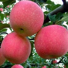 和记娱乐注册熟苹果树苗和记娱乐注册里和记娱乐注册、和记娱乐注册熟苹果树苗多少钱一棵图片