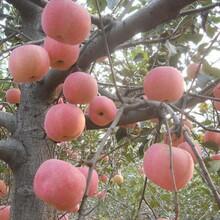 三年苹果树苗和记娱乐注册里和记娱乐注册、三年苹果树苗基地图片