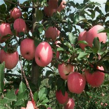 红将军苹果苗价格及基地、红将军苹果苗基地价格咨询图片