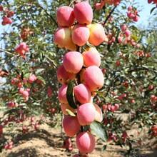 烟富苹果苗批发、烟富苹果苗基地品种纯正图片