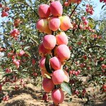 新品种嫁接苹果苗购买价格、嫁接苹果苗价格图片