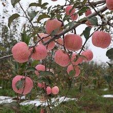 神富6号苹果苗基地价格咨询、神富6号苹果苗基地价格咨询图片