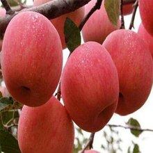 新品种红肉苹果苗批发价格、红肉苹果苗批发基地图片