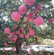 烟富苹果苗批发、烟富苹果苗批发品种纯正图片