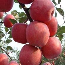 新品种华硕苹果苗购买价格、华硕苹果苗批发品种纯正图片