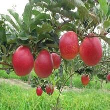 新品种蜜脆苹果苗批发价格、蜜脆苹果苗产地批发价格图片